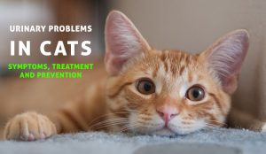 Urinary Problems In Cats Symptoms Treatment And