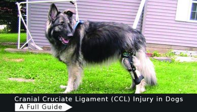 CCL-Injury-in-Dogs
